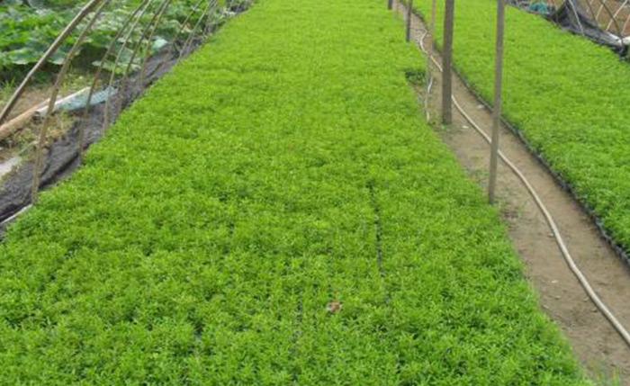 佛甲草种植基地