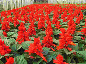 一串红种植基地
